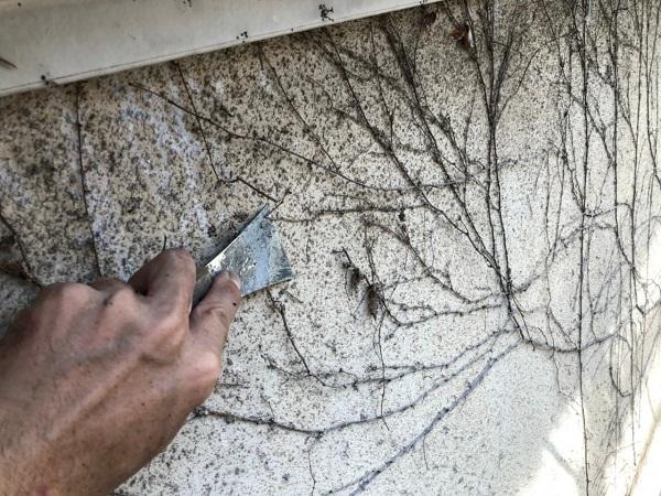 東京都世田谷区 外壁・屋根塗装等外装リフォーム ツタの除去 ツタのメリット・デメリット